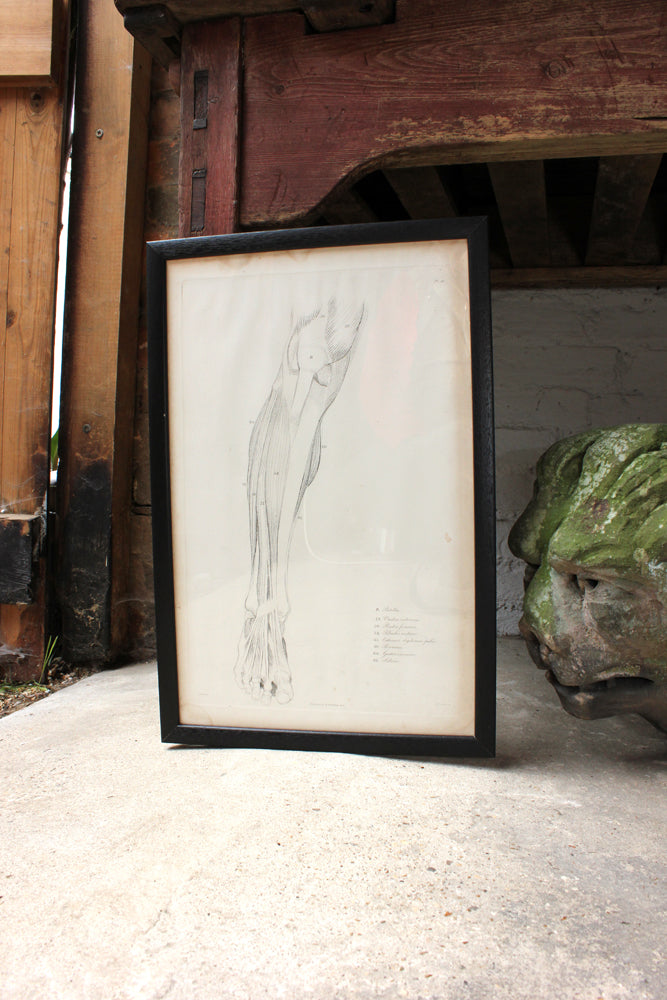 Framed Plate No.16; Anatomical Studies of Bones & Muscles, for the use of Artists; Flaxman/Landseer c.1833