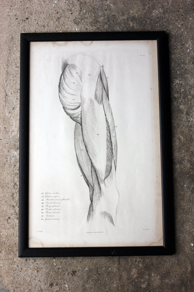 Framed Plate No.17; Anatomical Studies of Bones & Muscles, for the use of Artists; Flaxman/Landseer c.1833