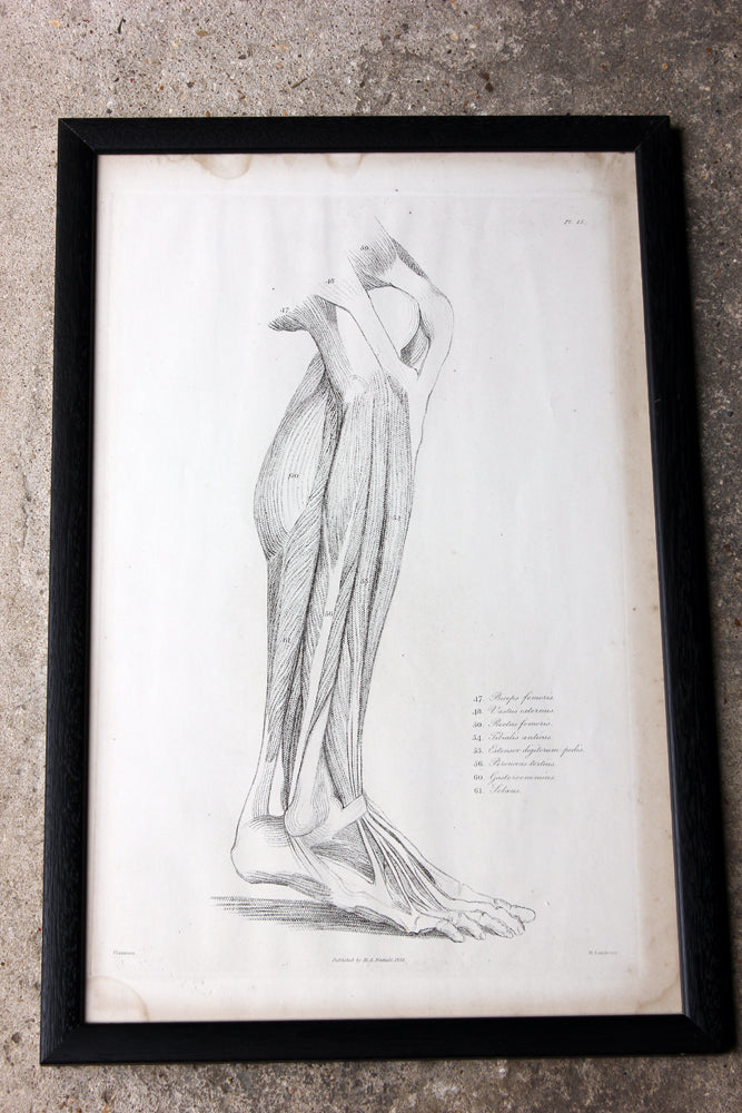 Framed Plate No.15; Anatomical Studies of Bones & Muscles, for the use of Artists; Flaxman/Landseer c.1833