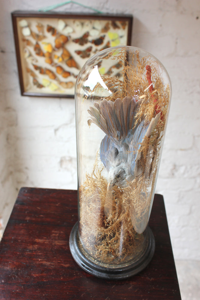 A Fine Victorian Taxidermy Bluebird Under a Circular Glass Dome