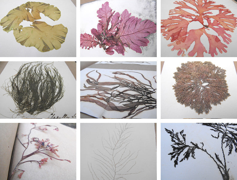 A Large & Highly Varied Algology Album of Assorted Dried Victorian Seaweeds & Algae Specimens, Compiled Between 1849-1862