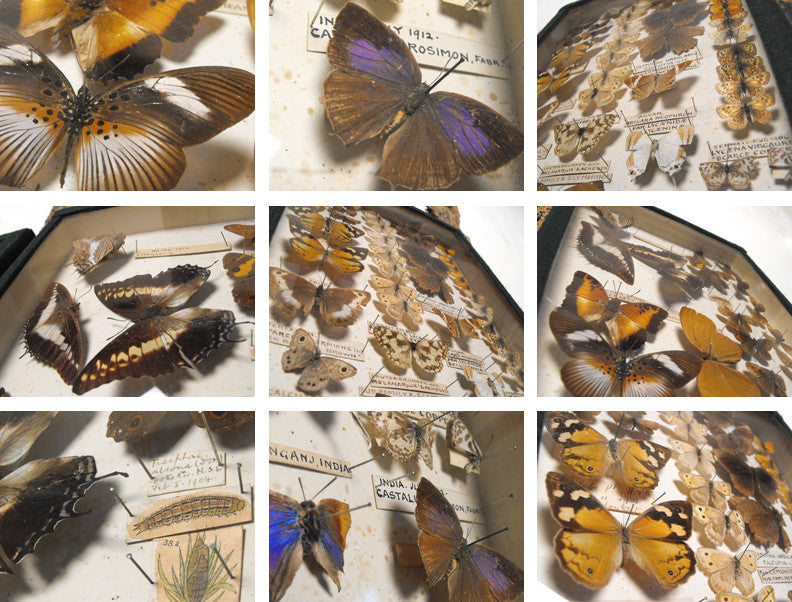 Two Magnificent Early 20th Century Lepidopterist Display Cases