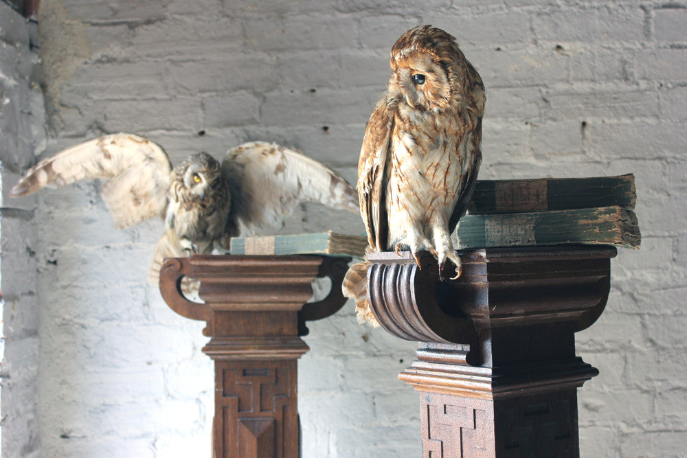 A Pair of Early 20thC Taxidermy Owls Mounted on a Pair of Carved Oak Newel Posts