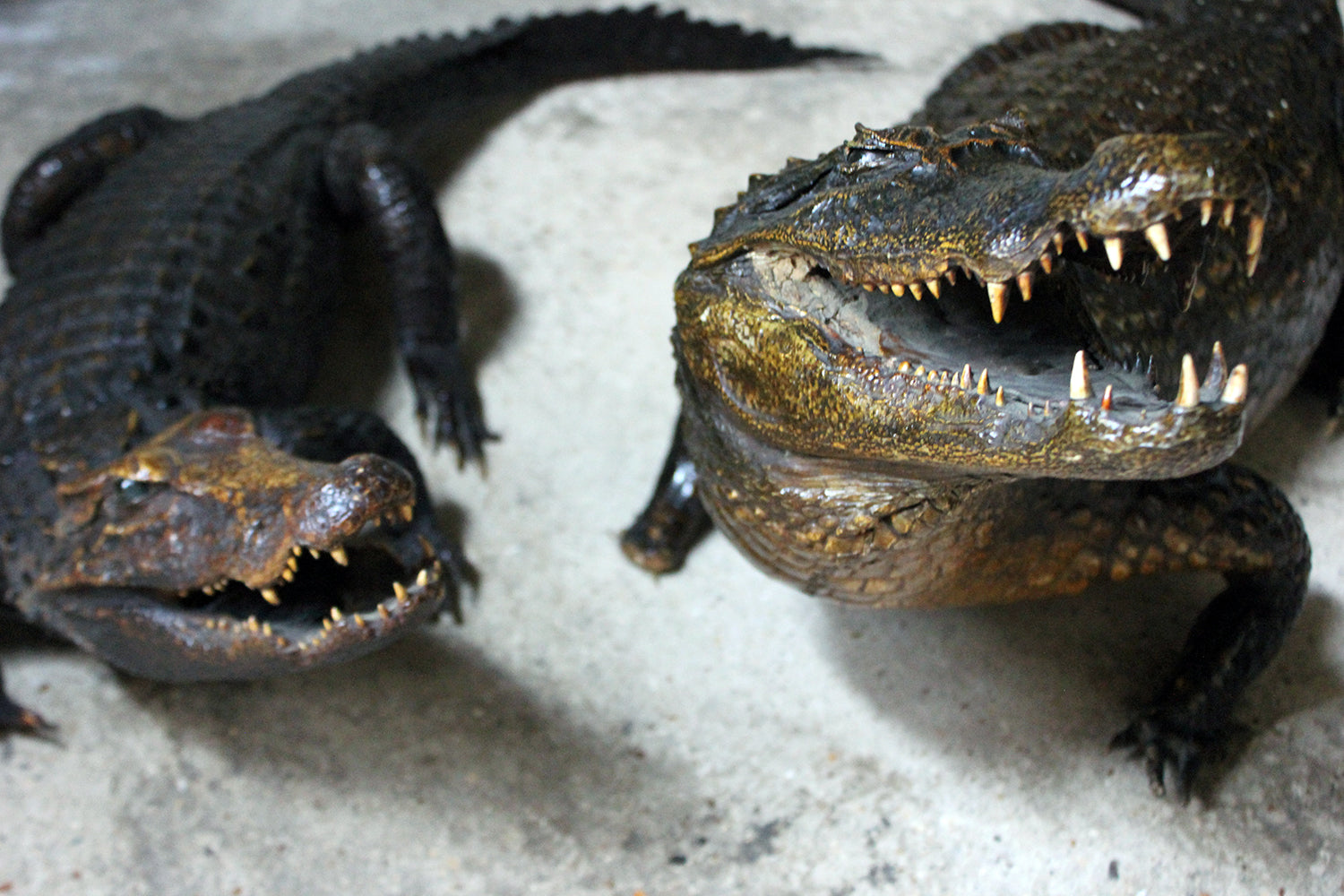 A Wonderful Pair of Late 19thC Taxidermy African Nile Crocodiles c.1900