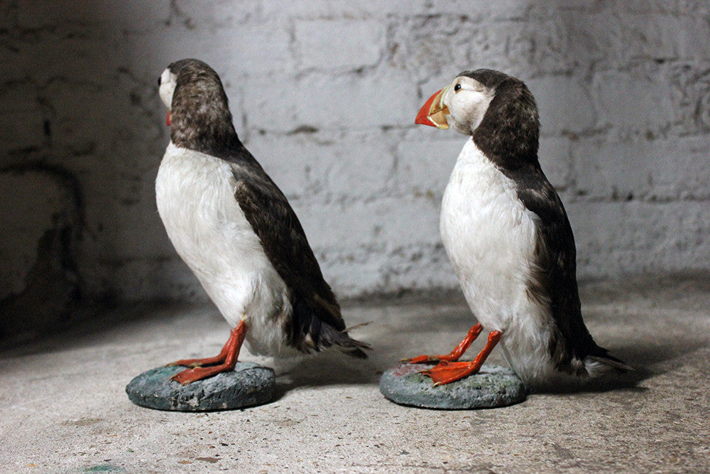 A Delightful Pair of Mid 20thC Taxidermy Atlantic Puffins