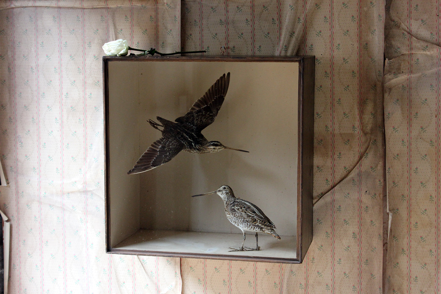 A Wonderful Museum Cased Taxidermy Pair of European Snipes by Joseph Cullingford of Durham, Dated to 1898