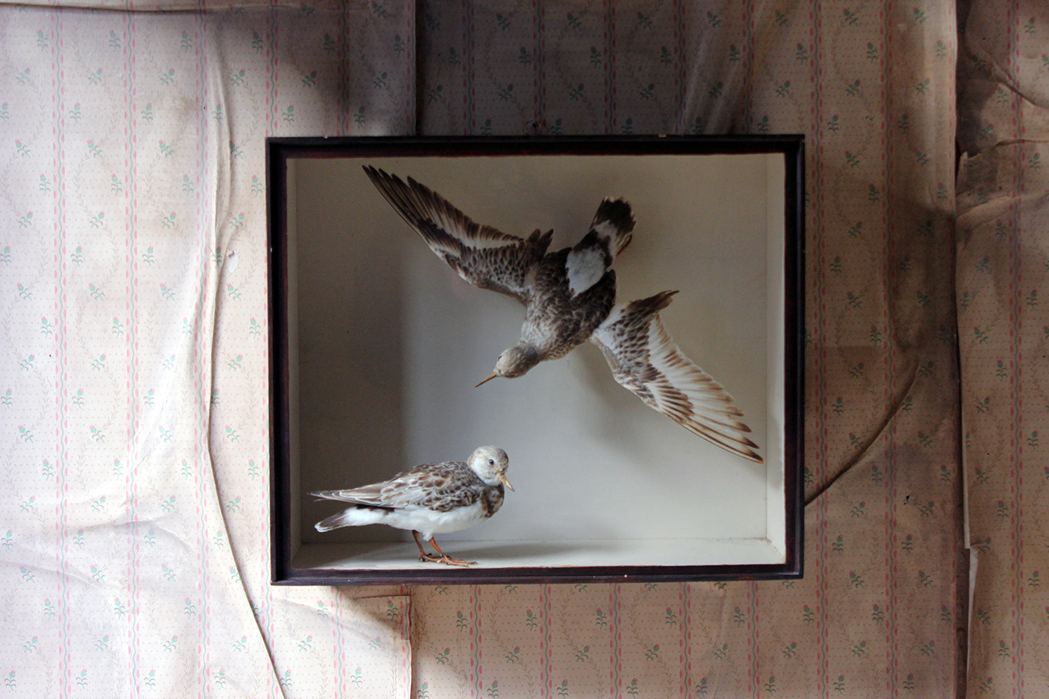 A Museum Cased Taxidermy Pair of Turnstones by Joseph Cullingford of Durham 1898/99