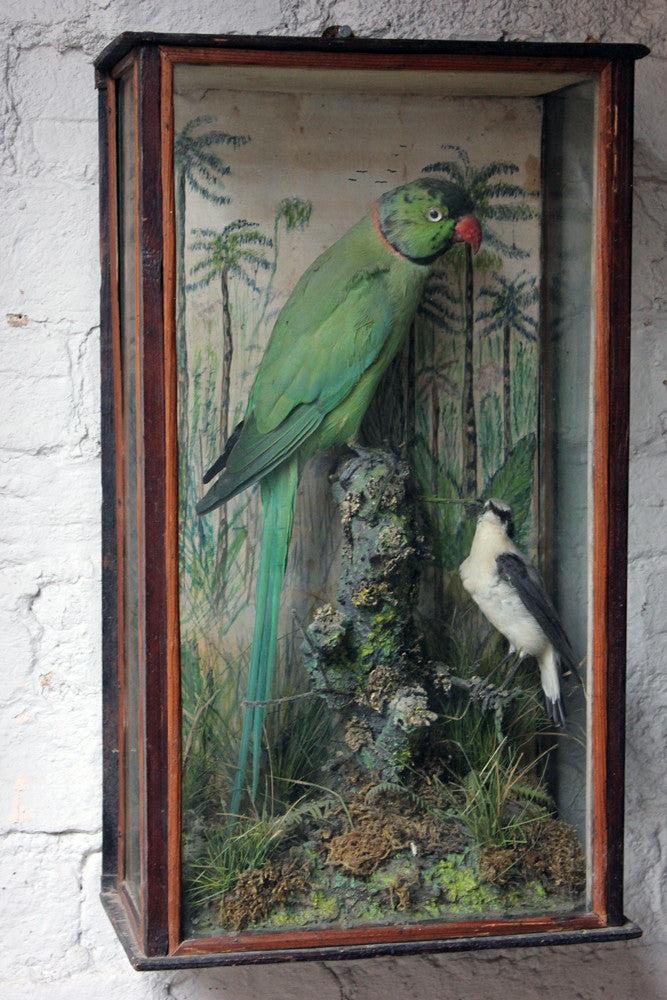 A Wonderful c.1900 Cased Taxidermy Ring-Necked Parakeet & Black Eared Wheatear by W.C. Shelbrooke