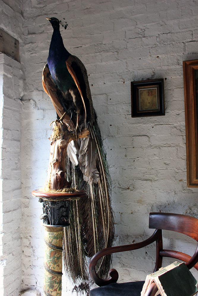 A Very Fine Early 20thC Mounted Mature Taxidermy Peacock