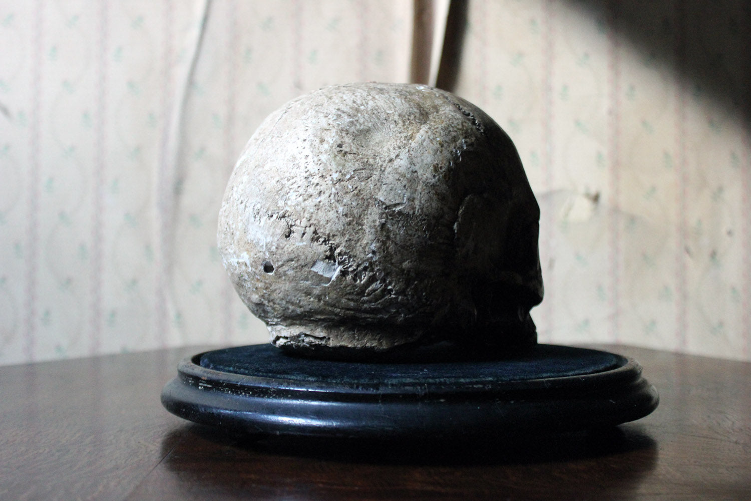 An Early 20thC Plaster Model of a Human Skull on Ebonised Stand