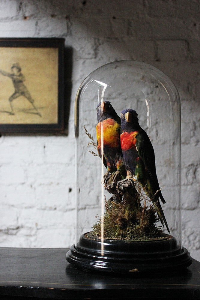 A Good Quality 20thC Dome Cased Pair of Taxidermy Rainbow Lorikeets