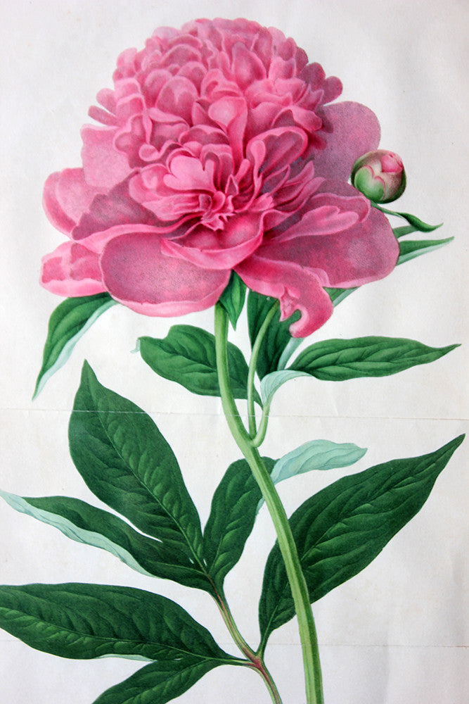 A Regency Hand-Coloured Chromolithographic Plate of a Double Sweet Scented Chinese Peony c.1812