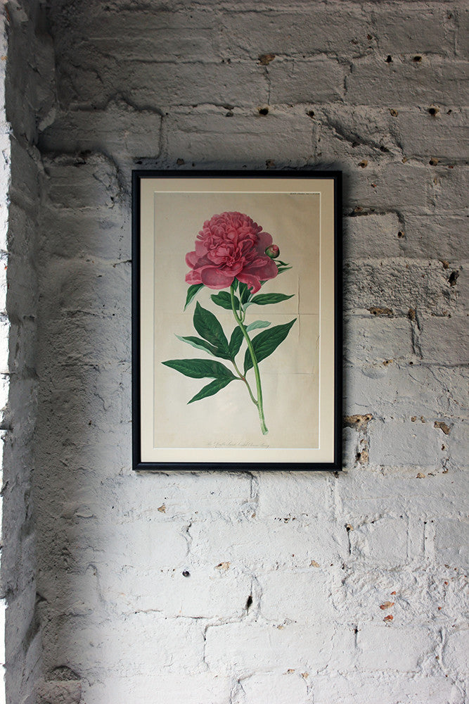 A Pretty Regency Period Framed & Hand-Coloured Chromolithographic Plate of The Double Sweet Scented Chinese Peony c.1812