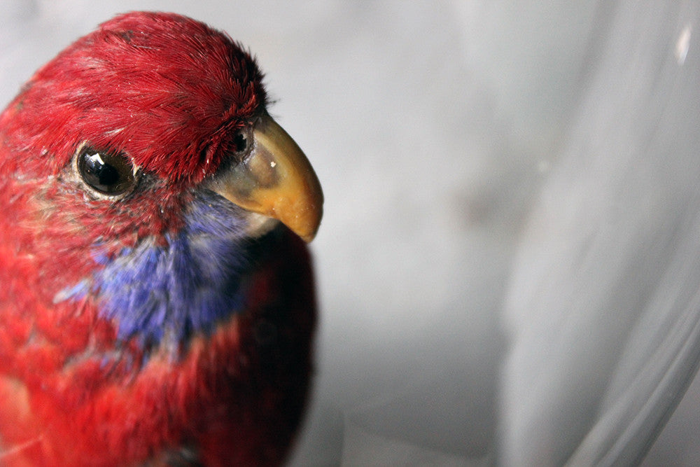 A Fine 20thC Dome Cased Taxidermy Specimen of a Crimson Rosella