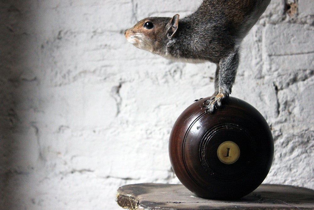 A Contemporary Taxidermy Squirrel Mounted on an Edwardian Period Bowling Bowl