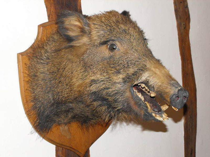 An Early Twentieth Century Taxidermy Head Of A Wild Boar