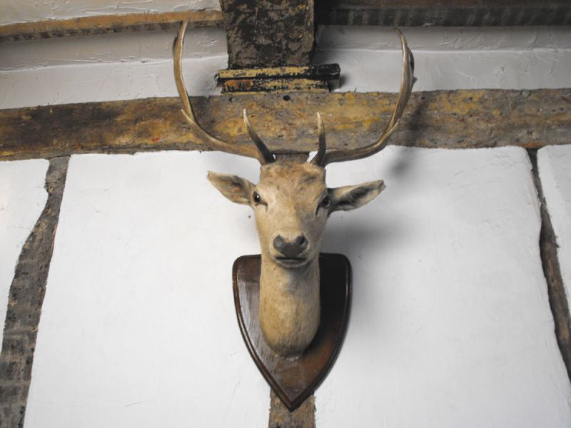 A Vintage Mounted Fallow Deer Buck Head by A.F. Adsetts of Derby