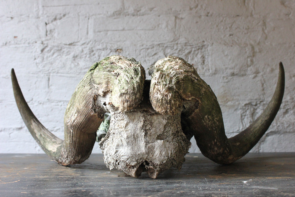 A Good Early 20thC Taxidermy Musk Ox Skull & Horns