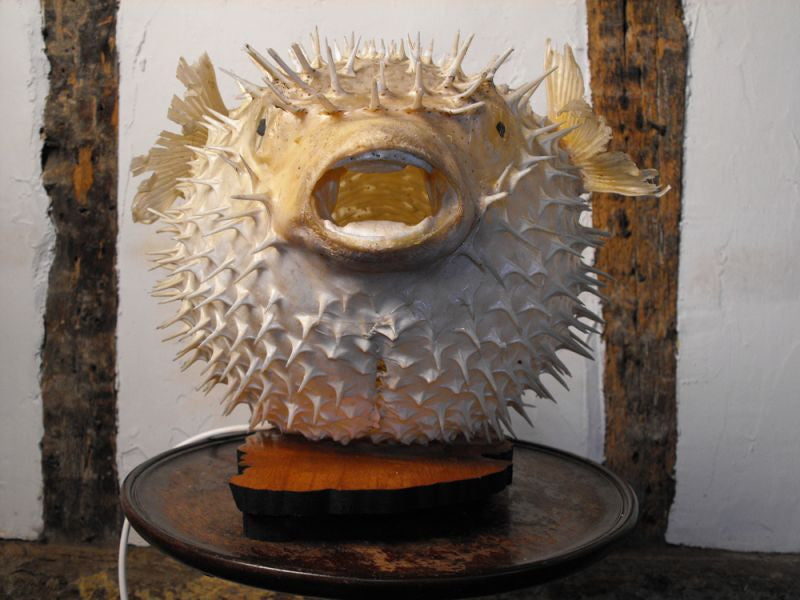 An Unusual Mid-20thC Taxidermy Puffer Blow/Porcupine Fish Mounted as a Table Lamp