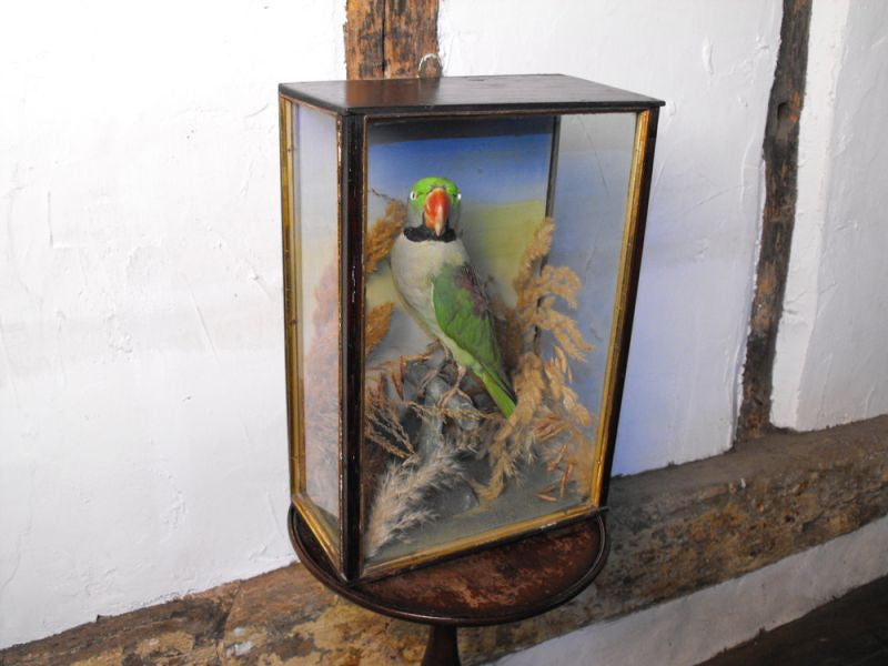 A Vibrant Taxidermy Ring Necked Parakeet in an Ebonised & Parcel Gilt Case