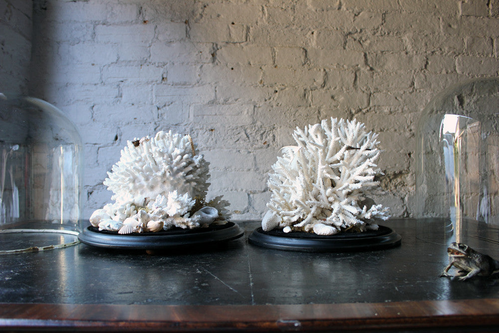 A Fine Pair of Large Dome Cased c.1870s Preserved Acropora Coral Specimens