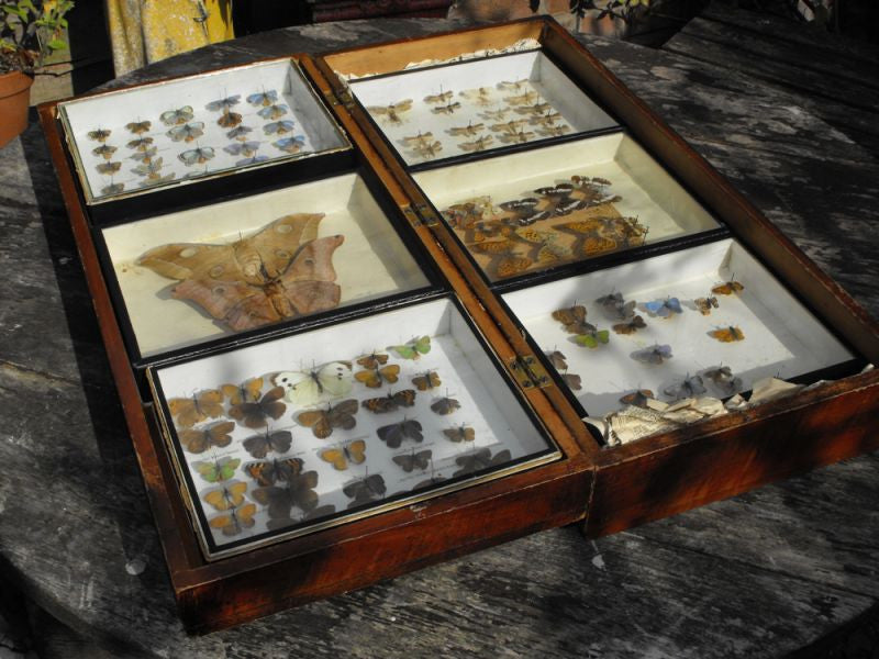 A Good Early 20thC Mahogany Housed Lepidopterist's Collection