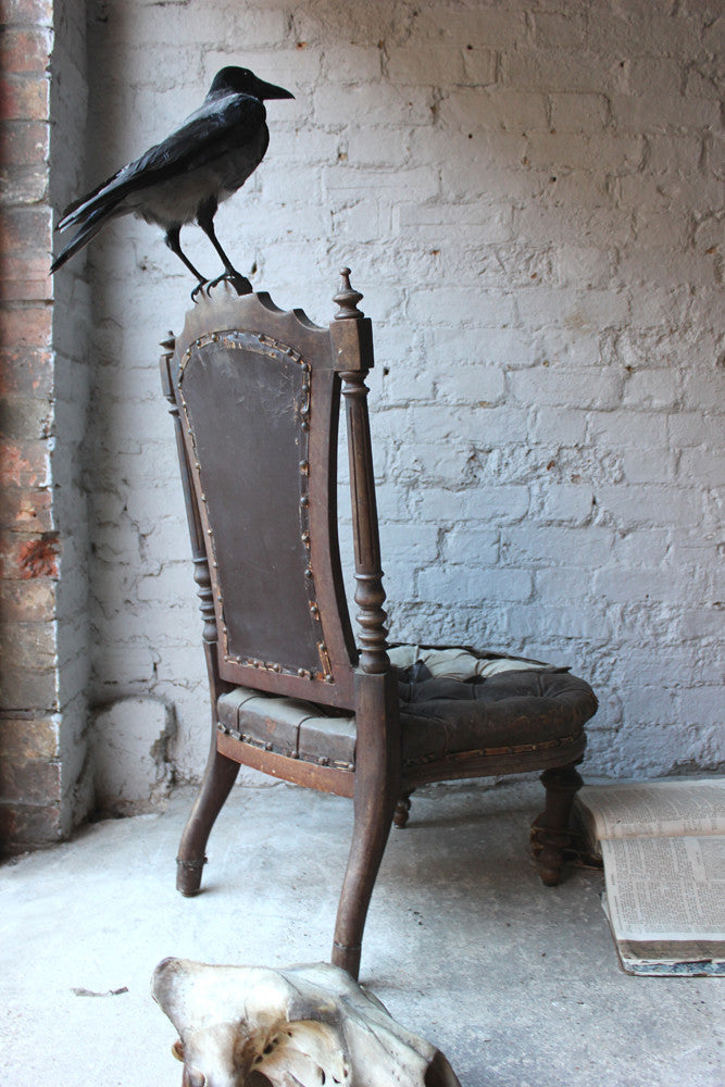 A Fine Contemporary Taxidermy Hooded Crow on a Victorian c.1880 Chair