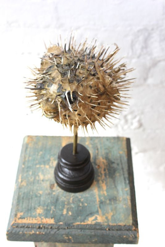 An Early 20thC Taxidermy Puffer Blow/Porcupine Fish on Stand