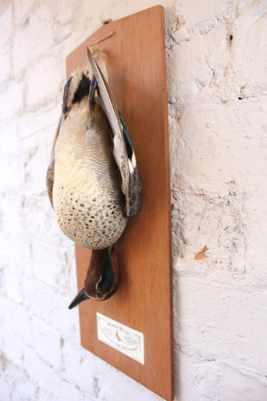 A Taxidermy Teal Hung as Dead Game, Mounted on a Board c.1960