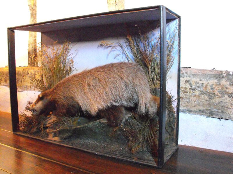 A 20thC Taxidermy Badger in Naturalistic Case