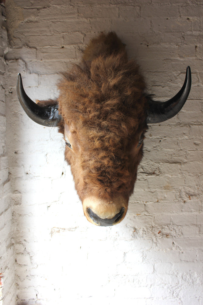 A Fine & Large Mid 20thC Taxidermy Bison Head & Shoulder Mount