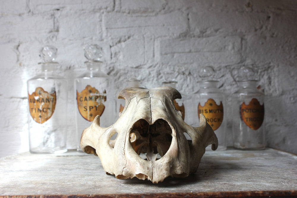 A Good Large Upper Section of a 19thC Male Lion's Skull