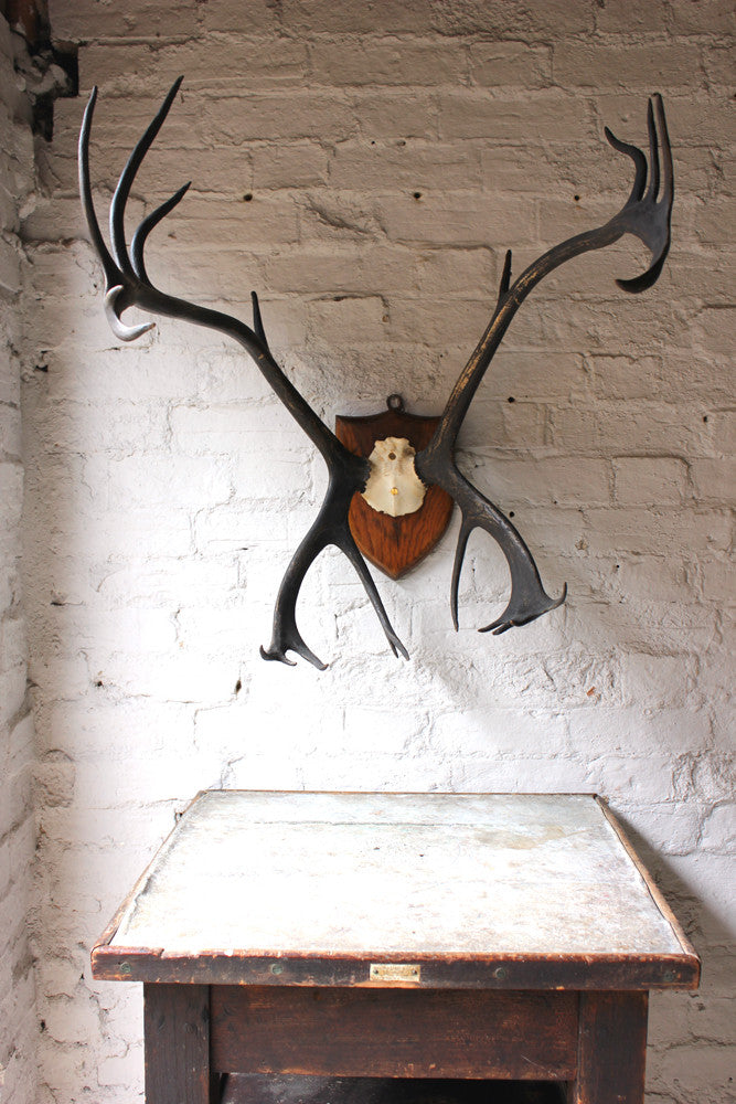 A Large Pair of Fine c.1920 Mounted Taxidermy Scandinavian Reindeer Antlers