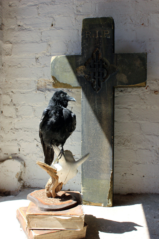 A Striking Taxidermy Carrion Crow Perched on a Horned Sheep Skull