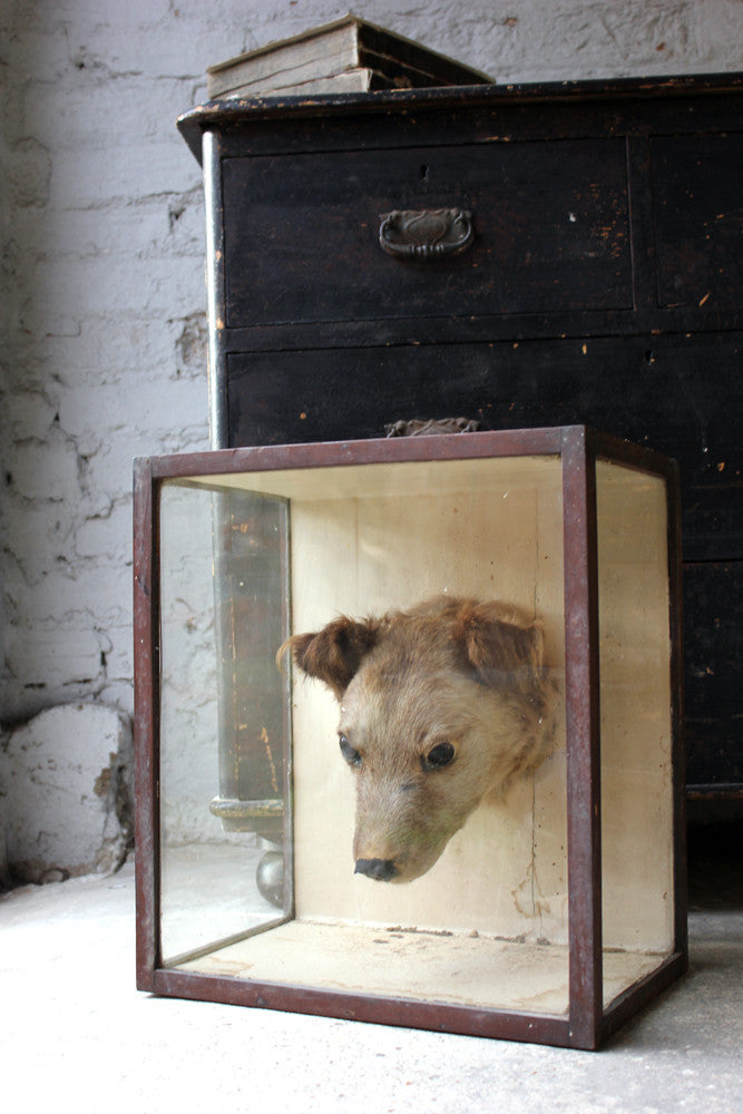 An Early 20thC Taxidermy Terrier Mask in a Glazed Display Case