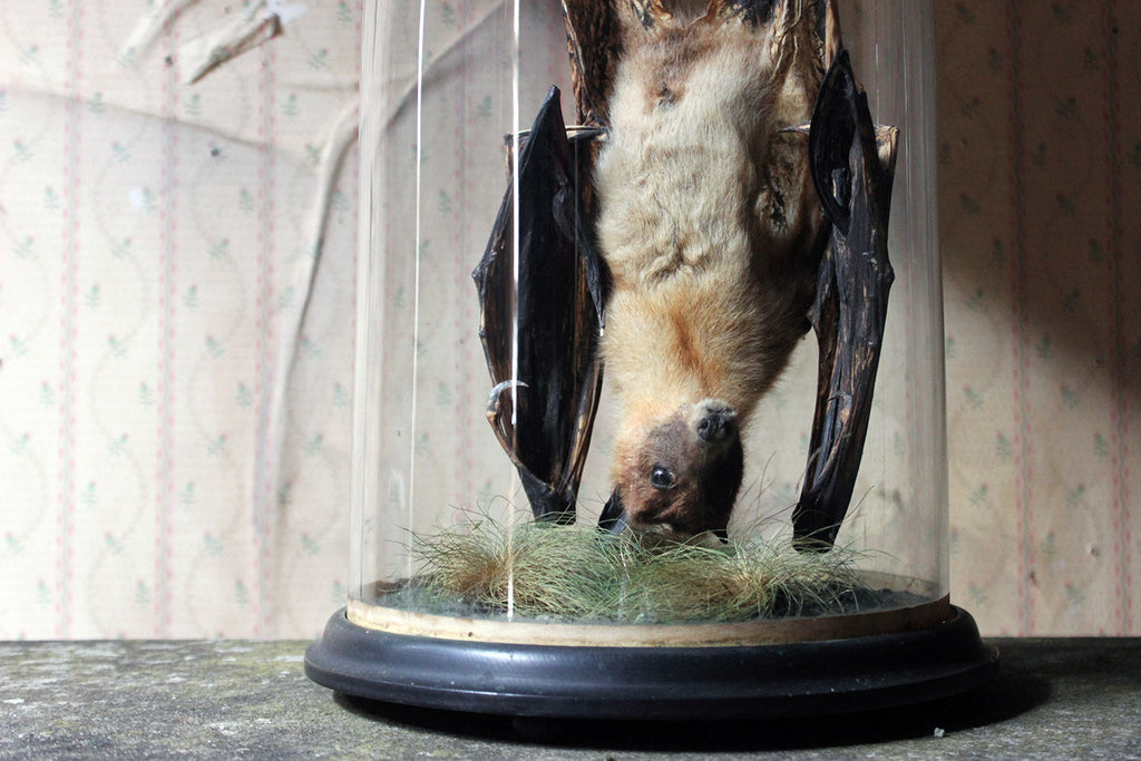 A Good c.1900 Dome Cased Taxidermy Fruit Bat