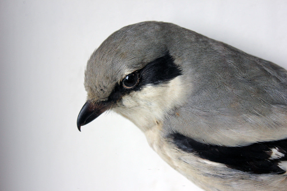 A Beautiful Museum Cased Taxidermy Great Grey Shrike c.1890-1900, formerly of The Hancock Museum
