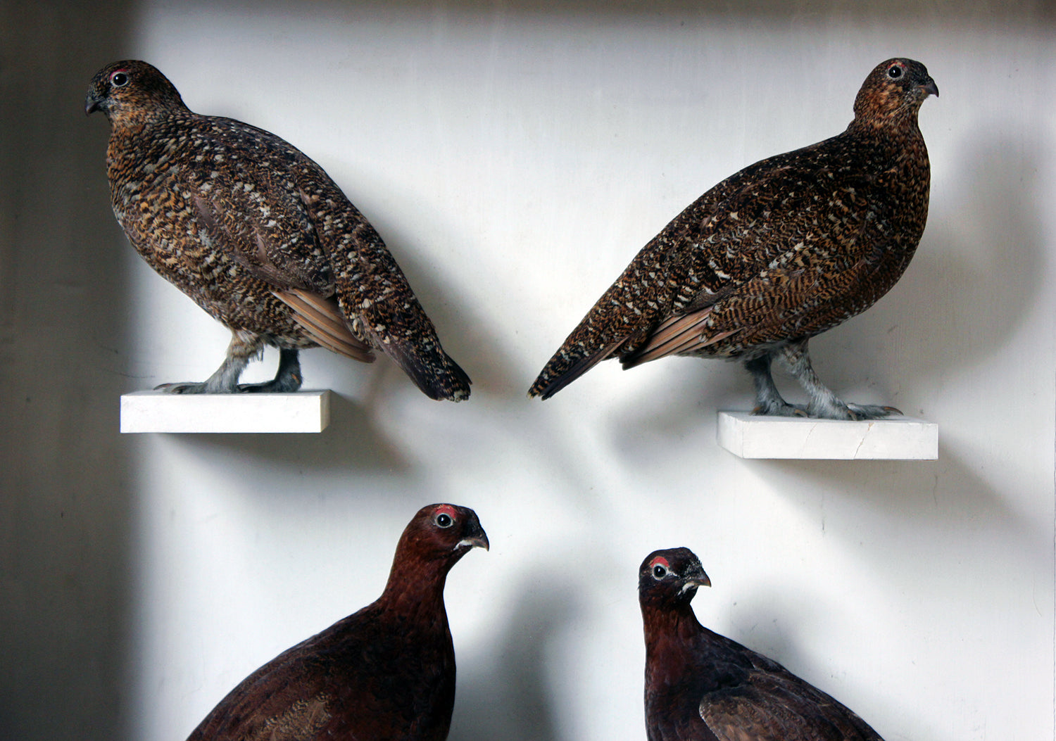 A Large Museum Cased Taxidermy Group of Four Scottish Red Grouse by R.Duncan of Newcastle Upon Tyne, Dated to 1882