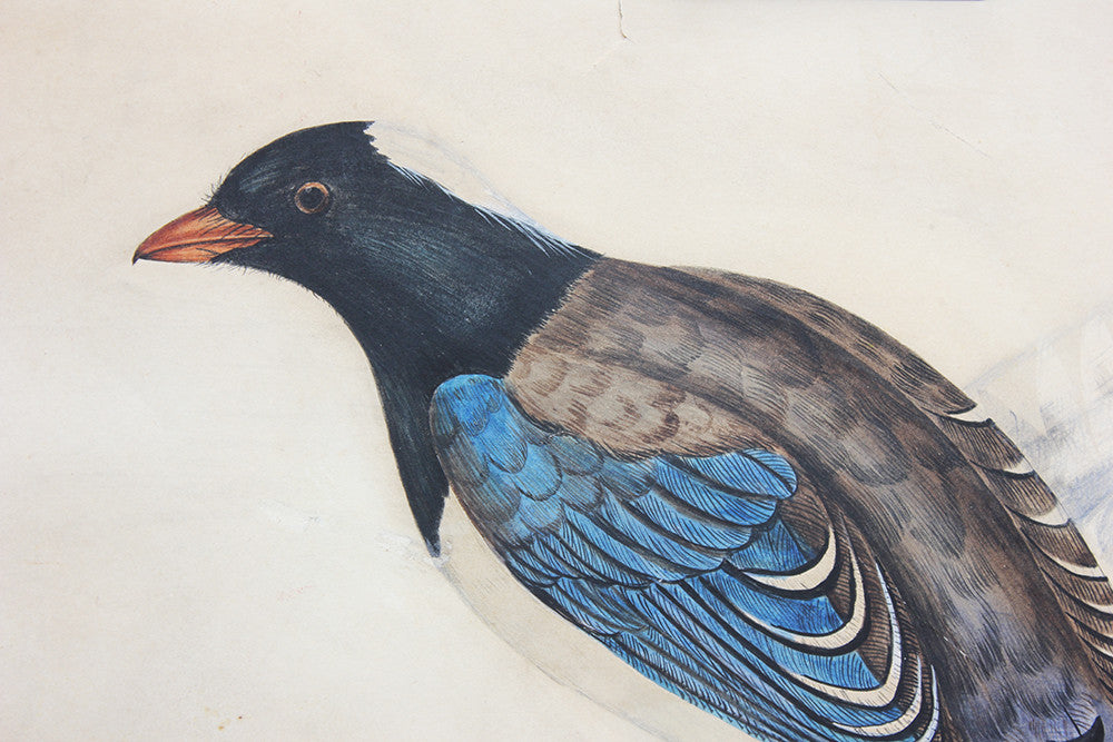 Circle of Elizabeth Gould (1804-1841); A Fine Watercolour Study; Pica Erythrorhyncha; from 'A Century Of Birds From The Himalaya Mountains' c.1832