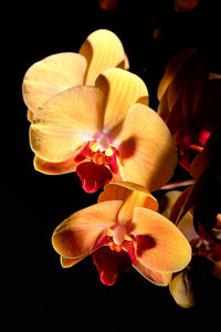Orchid 684