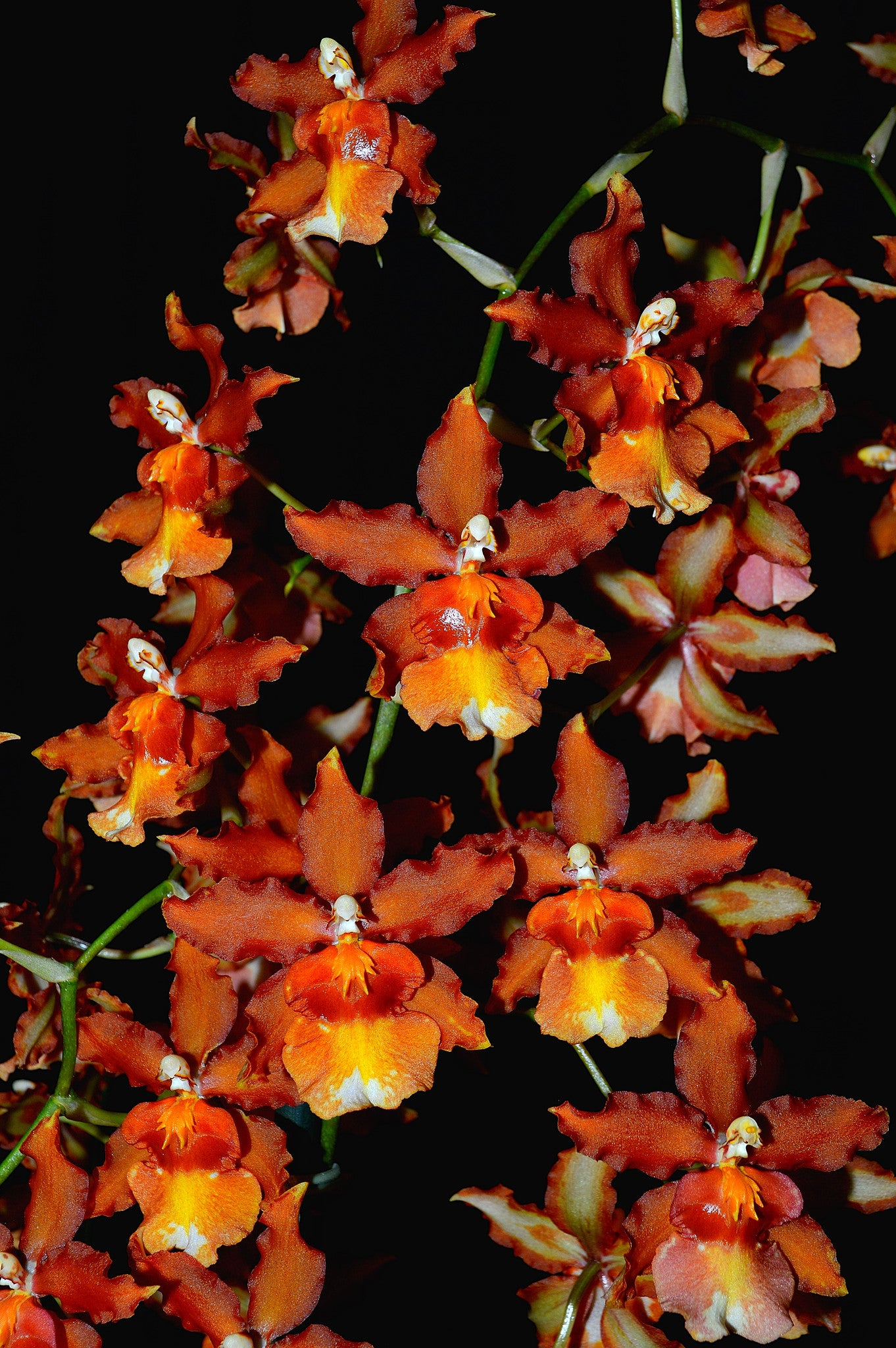 Orchid 708