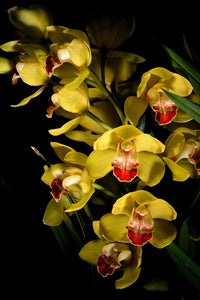 Orchid 679