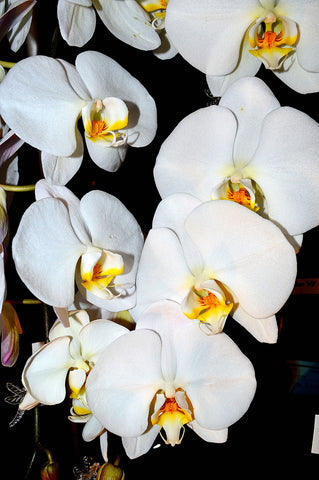Orchid 699
