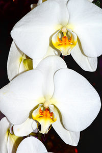Orchid 743