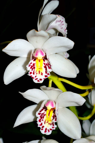 Orchid 767