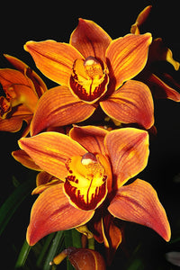 Orchid 779