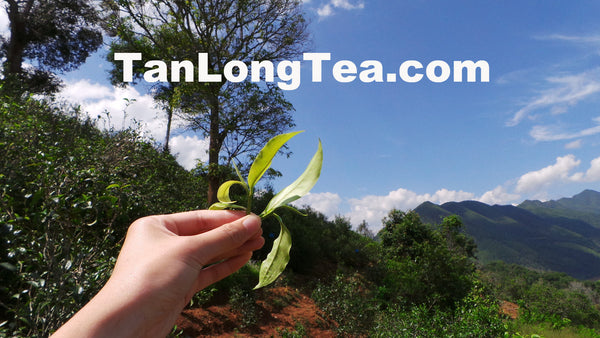 The Home for Butterflies-LanCang Rier Basin- XiGui ManLu Mountain Ancient Tea Tree 2013 昔歸古樹