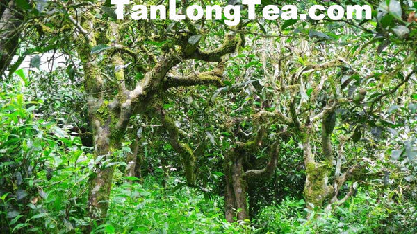 MengSong Secret Divine Tea Forest 2015 First Flush (Ancient Tea Trees from the Wild)孟宋仙谷古韻