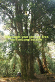 Wild Thousand Years Ancient Tree Tea Tree