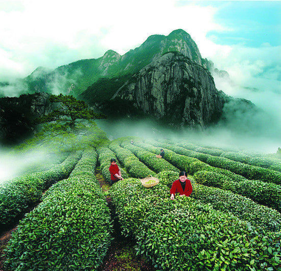 Mineral Rock WuYi Mountain Tea Field